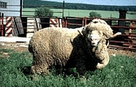 Асканийска овца(Askanian sheep)