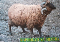 Карнобатска местна(Karnobat sheep)