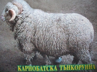 Карнобатска тънкорунна овца(Karnobat Finewool sheep)